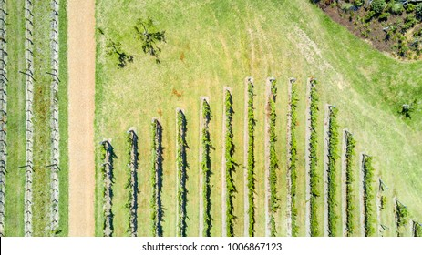 Aerial view on rows of vine. Waiheke Island, Auckland, New Zealand.