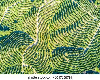Aerial view of orange tree groves on hills creating organic pattern