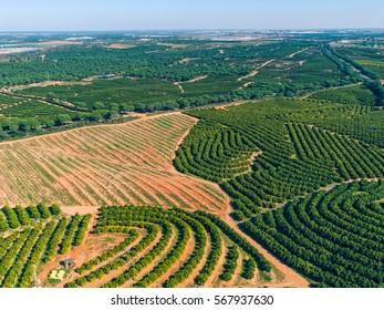 Aerial View Orange Trees Plantation, Spain