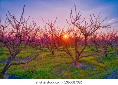 Aerial view the orchard of peach trees in bloomed in spring in the plain of Veria in northern Greece