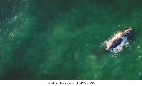 Aerial view over a Southern Right Whale and her calf along the overberg coast close to Hermanus in South Africa