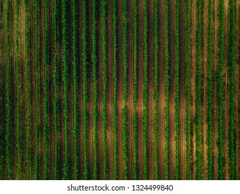 Aerial view over vineyard fields in Italy. Rows of grape vines top view