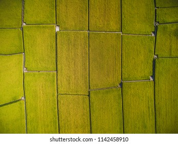 Aerial View of Paddy Field - Ripening of paddy field birds eye top view use the drone in morning, shot in Guanxi Township, Hsinchu, Taiwan.