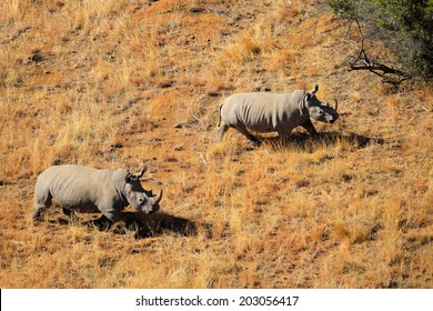 Aerial view of a pair of white rhinoceros (Ceratotherium simum) in grassland, South Africa