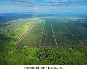 Aerial view of the palm oil tree plantation with river and jungle with palms, forest and trees in East Kalimantan (Borneo) - Kumai, Tanjung Puting national park and Camp Leakey