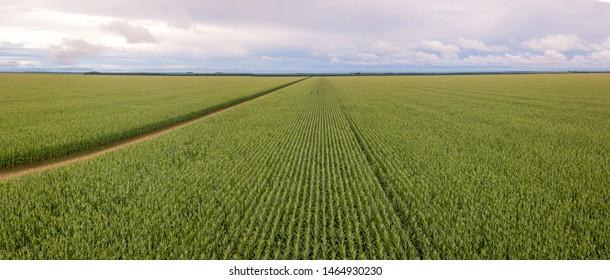 Aerial view of  panoramic cornfield and dirt road in clear summer day. Agriculture, harvest and farm concept. Genetically modified and transgenic corn for export, produced in Mato Grosso, Brazil.