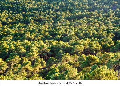 Aerial view of Pinar Castrocontrigo, Leon. Cluster pine. Pinus pinaster.