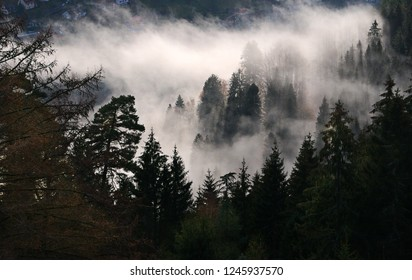 Aerial  view of pine trees in a valley enveloped in cloud.
