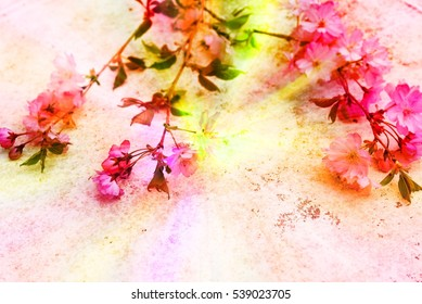 Aerial view pink Japanese Prunus Serrulata branches on white background. Flowering cherry twigs in family Rosaceae, Japan traditional custom Hanami Cherry Blossom Festival. Image with filter effect