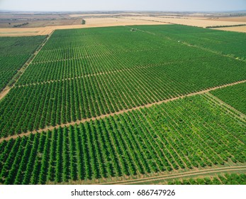 Aerial view of plantations with orchards / Neat rows of fruit trees, aerial view