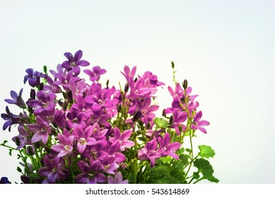 Aerial view potted purple Campanula Portenschlagiana flowers. Little bell-shaped flower in family Campanulaceae used for headpiece of fairies and elves, for gardening concept, image with filter effect