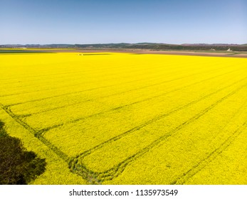 Aerial view of rape field with tractor tracks, beautiful yellow flowering