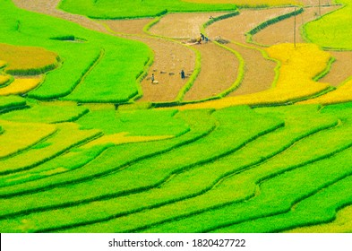 Aerial view of the rice paddies on harvest season in Khau Pha (Yen Bai Province, Vietnam). This is also a very photogenic place.