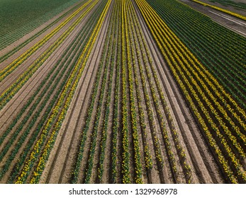 Aerial view of rows of Daffodils in Lincolnshire, UK