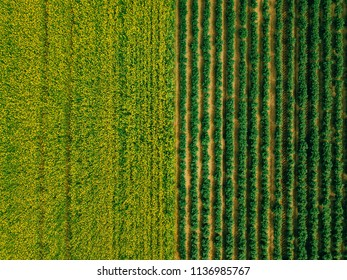 Aerial view of Rows of potato and rapeseed field. Yellow and green agricultural fields in Finland. Drone photo