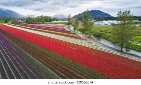 An aerial view of rows of a tulip field taken by a drone