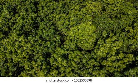 Aerial view Rubber tree forest, Top view of rubber tree and leaf plantation.