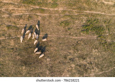 aerial view from a lot of sheep