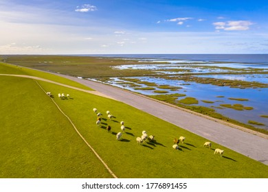 Aerial view of sheep grazing on sea dike near Tidal Marshland national park and Unesco World heritage area Waddensea in Province of Groningen. Netherlands