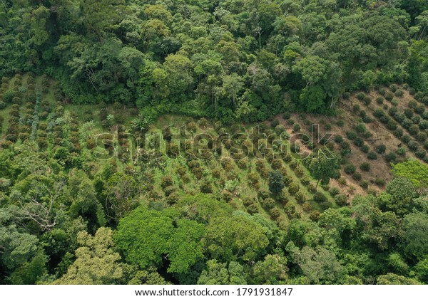 Aerial view of a small plantation of achiote that is located within tropical rainforest and of which the left half has been planted recently