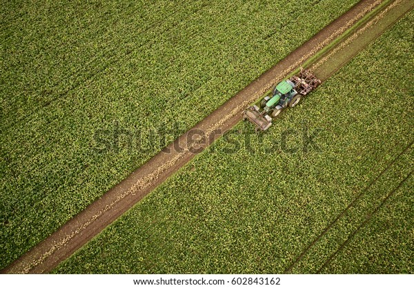 aerial view of sugar beets harvest