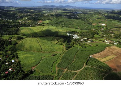 aerial view of Sugarcane field, Martinique, Caribbean Islands