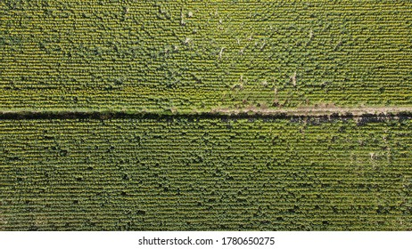 Aerial view of a sunflower field in Tuscany, Italy