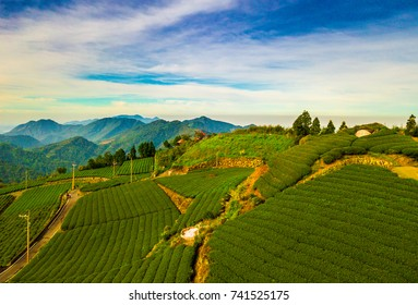 Aerial view. Sunrise view of tea plantation landscape in Taiwan.