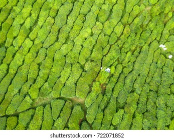 Aerial view of tea plantation with workers picking tea leaves