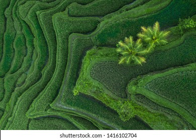 Aerial view of Tegallalang Bali rice terraces. Abstract geometric shapes of agricultural parcels in green color. Drone photo directly above field.