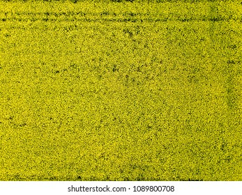 Aerial view top view of the yellow field with flowering rape. Natural background. Photo from the drone