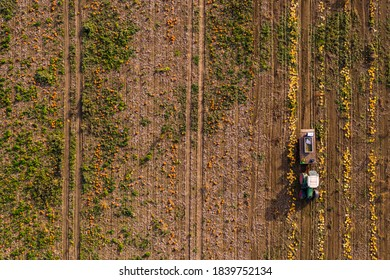 Aerial view of a tractor harvesting pumpkins in a pumpkin field, leaving tracks on the field
