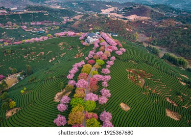 Aerial view of traditional Chinese tea garden, with blooming cherry trees on the tea mountain at sunrise, in Yongfu cherry blossom garden in Longyan, Fujian, China