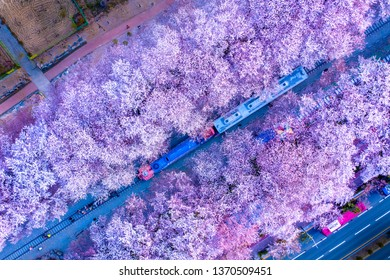 Aerial view Train and cherry blossom in Jinhae, Jinhae Gunhangje Festival is the largest cherry blossom festival in South Korea, Gyeonghwa Railway Station.