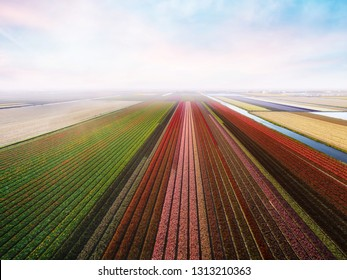 Aerial view of tulip field