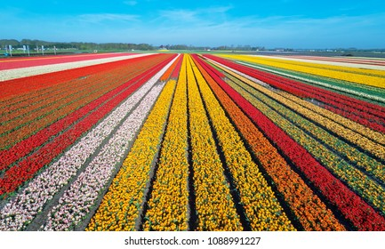 Aerial view of the tulip-fields in springtime, located between the towns of Lisse and Sassenheim, province of Zuid-Holland, the Netherlands