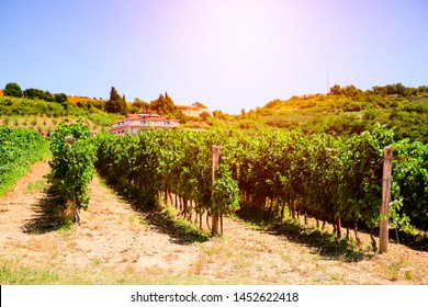 Aerial view of vineyard at the seaside and sunset in the middle of the grape shrubs