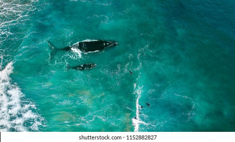 Aerial view, Whale swimming with surfers in the green ocean with big waves. Top view ocean, whale, surf, wave background.