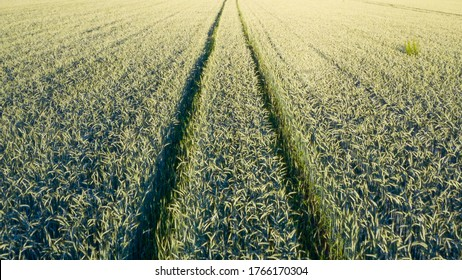 Aerial view of wheat field at summer sunset.
