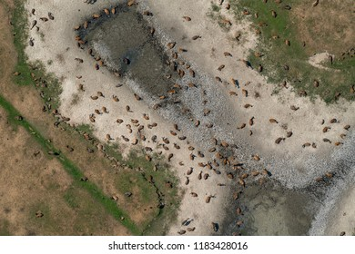Aerial view of wild deer in a nature reserve park at Oostvaardersplassen between Almere and Lelystad in Holland. The wildlife rests at a dried up well during a long period of drought in Summer 2018