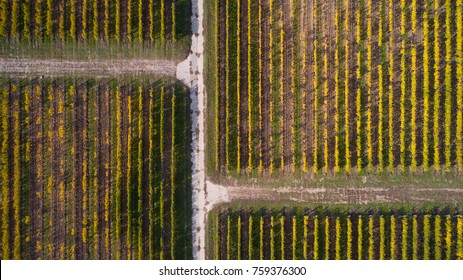 Aerial view of a yellow autumn vineyard at sunset