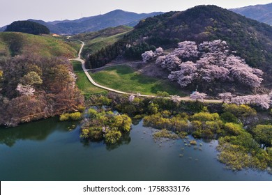 Aerial view of Yongbiji Reservoir with cherry blossoms in the spring near Seosan-si, South Korea