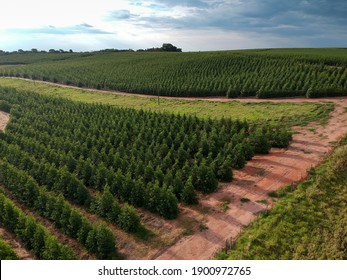 Aerial view of a young Eucalyptus plantation in Brazil