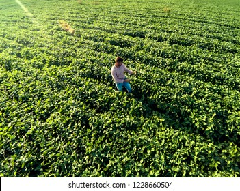 Aerial view of young farmer walking in a soybean field and examining crop.