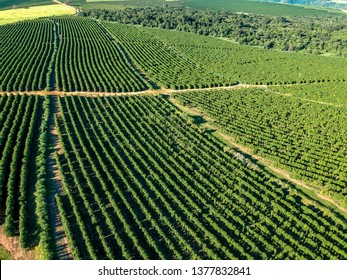 aerial viewof green coffee field in Brazil