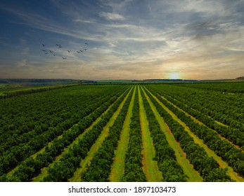 Aerial views over top of rows of orange trees in plantation in sunset