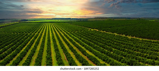 Aerial views over top of rows of orange trees in plantation in sunset. - Shutterstock ID 1897285252