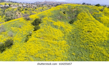 Aerial Wild Mustard Plant Hills of Walnut California