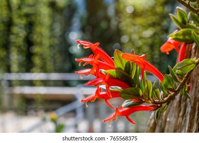 Aeschynanthus, Beautiful flowers in the garden.