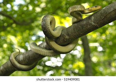 Aesculapian snake (Zamenis longissimus) knotted on a branch of a tree in ints natural woody habitat. diagonal nice portrait. Liguria. Italy.